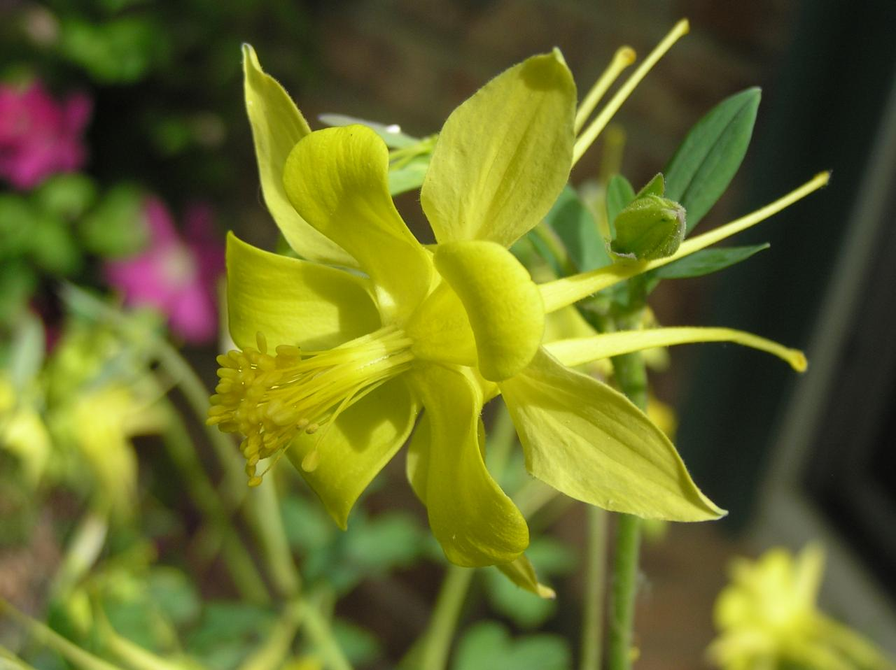 Aquilegia spp high plains gardening izmirmasajfo