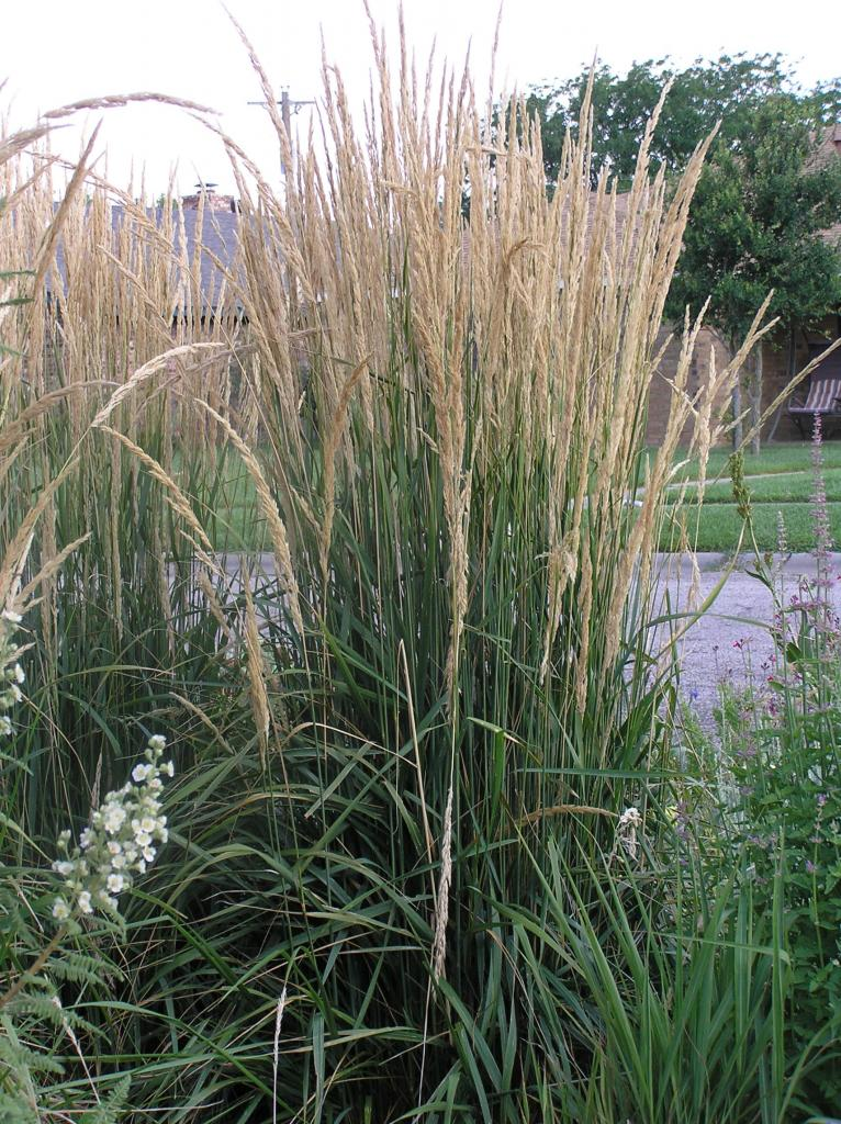 Picture of Live Feather Reed Grass aka Calamagrostis 'Karl Foerster' Plant Fit 5 Gallon Pot