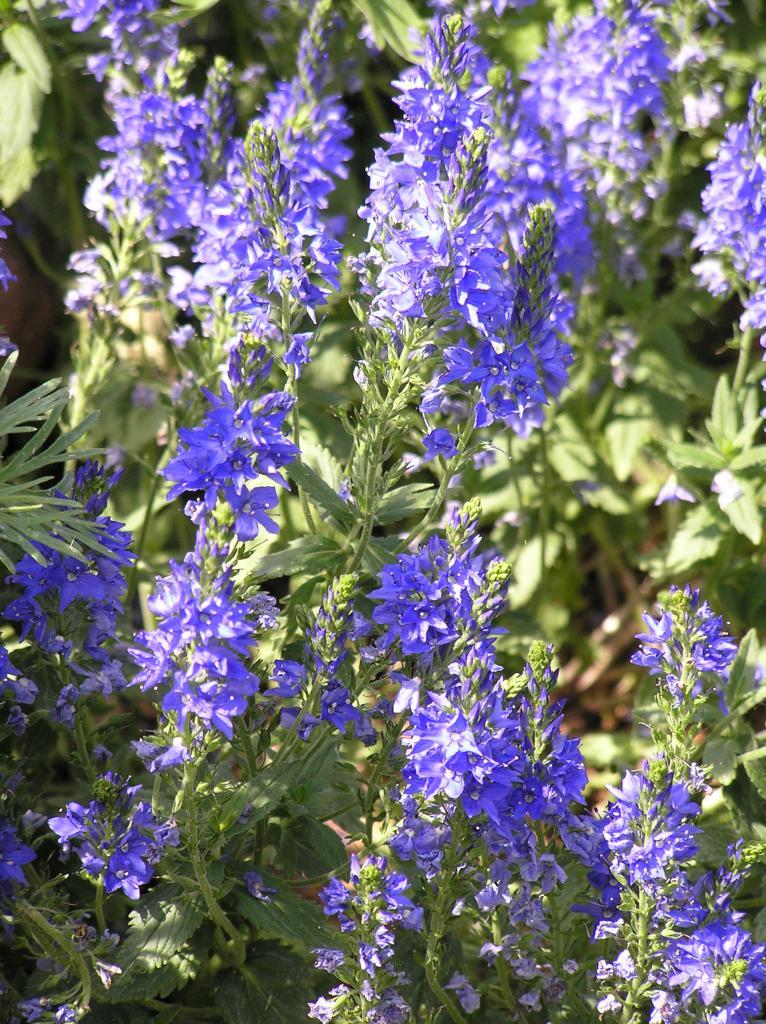 Consolida Ambigua High Plains Gardening