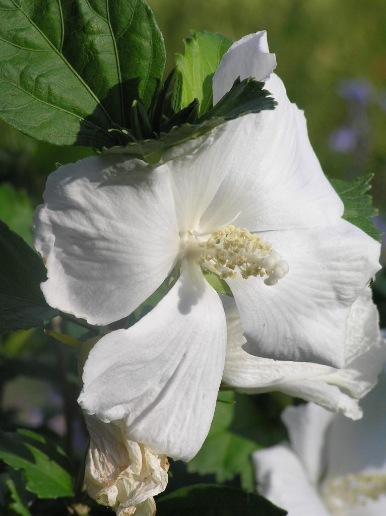 Hibiscus Syriacus Diana High Plains Gardening