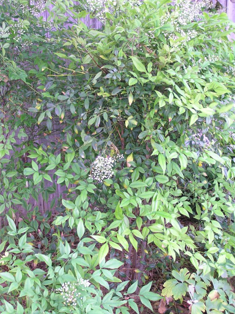 Nandina Domestica High Plains Gardening