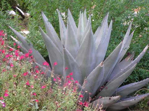 Agaves For The Texas Panhandle High Plains Gardening