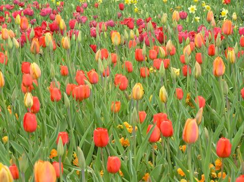 Gardening with tulips in the texas panhandle part 1 species tulips high plains gardening for Tulip garden in texas