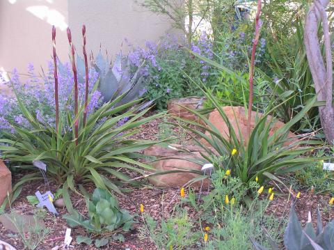 Yuccas for the High Plains of Texas | High Plains Gardening