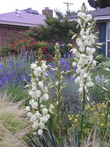 Plant List For The Texas Panhandle Flowers High Plains